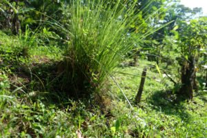 A Vetiver hedgerow also lines a downslope berm at Rancho Mastatal in Costa Rica